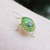 Green Stink Bug Nymph - Beneficial Bug Found on Rose of Sharon