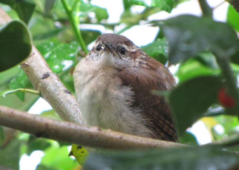 Wren Fledgling Waiting in Holly Tree at Window for Food Delivery
