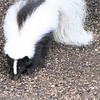 Striped Skunk Frontal View in Backyard