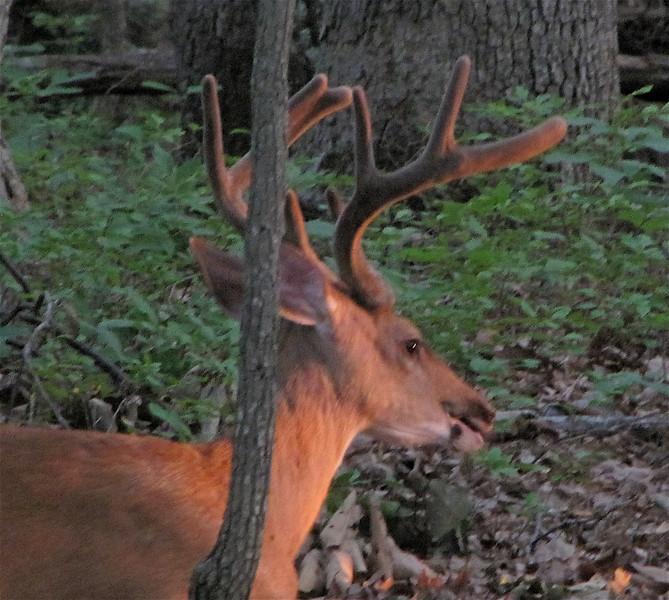 Male Deer, Buck, Resting in Backyard Watching Sunset