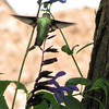 Ruby-throated Hummingbird at Blue-Black Salvias