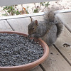 Happy Squirrel at Sunflower Seed Dish