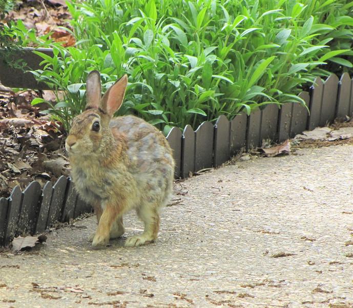 Precious Bunny on Front Walkway