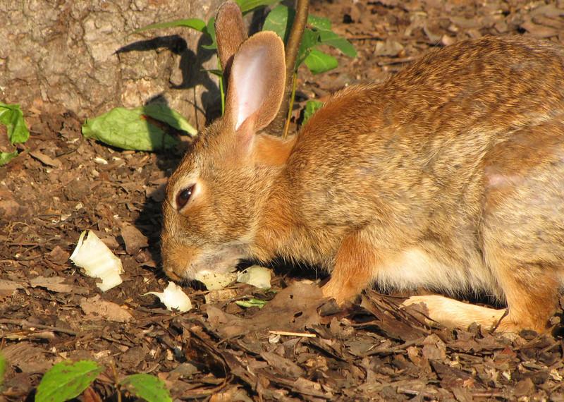 Rabbit Squints In The Morning Sunlight