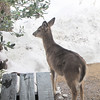 Young Deer on Walkway Eating the Birdfood