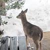 Young Deer on Walkway Eating the Birdfood
