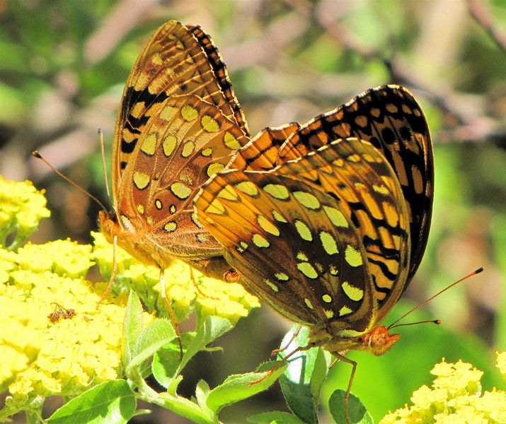 Great Spangled Fritillary Butterflies Mating