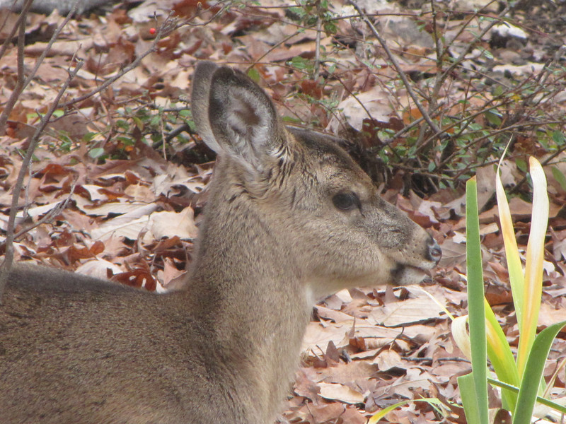 Small Deer Resting in Front Yard - Seems to Be a Runt