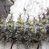 Bristled Buck Moth Caterpillar