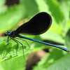 Female Black-winged Damselfly