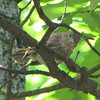 Curious Juvenile House Finch