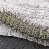 Bristled Buck Moth Caterpillar