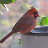 Male Cardinal at Front Porch Heated Birdbath