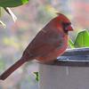 Male Cardinal at Front Porch Heated Birdbath