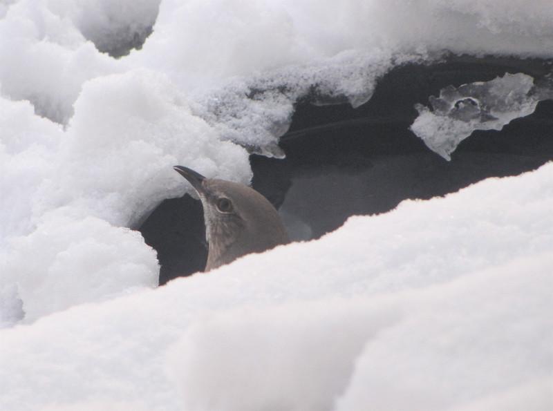 Mockingbird at Heated Birdbath on the Ground