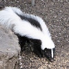 Striped Skunk in Backyard Eating Millet