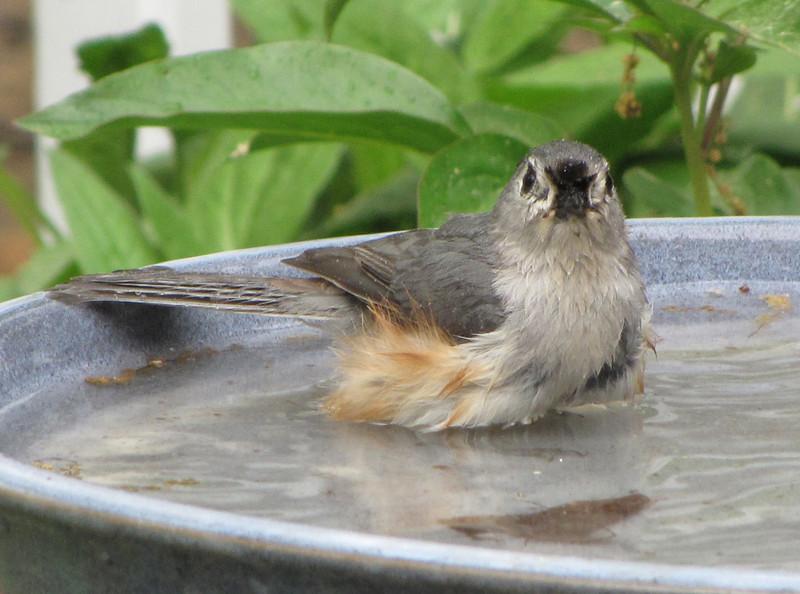 Tufted Titmouse Bathing