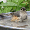 Tufted Titmouse Bathing