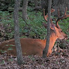 Male Deer, Buck, Resting in Backyard Watching Sunset