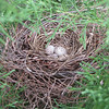 Four Cardinal Eggs in Nest - May 5