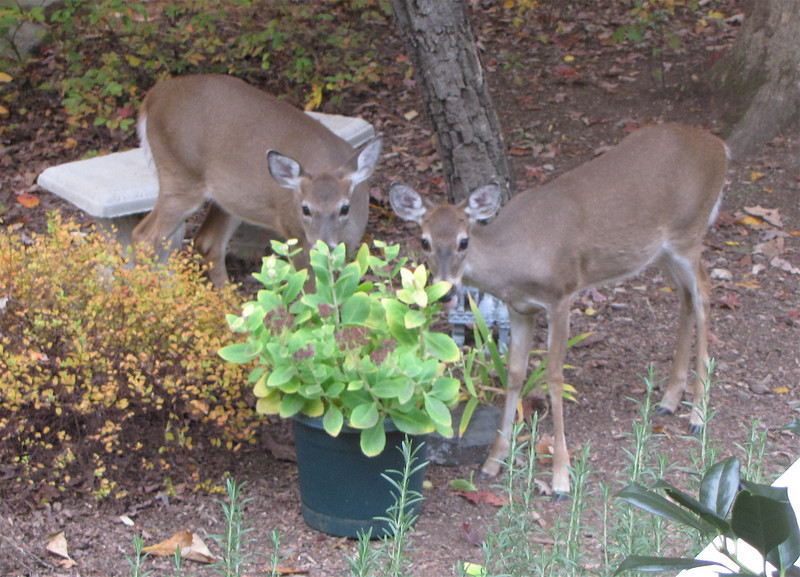 When The Sedum is Finished Blooming on the Deck The Deer Get to Eat It