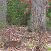 Small Deer Resting in Front - Seems Like a Runt of the Litter