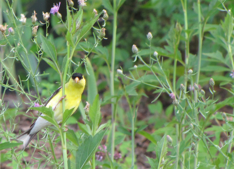 Male American Goldfinch On Spotted Knapweed