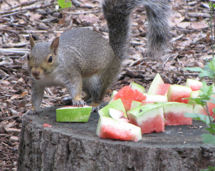 Squirrel Eating Watermelon