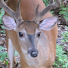 Male Deer, Buck, Closeup