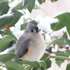 Titmouse Eating Snow
