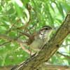 Carolina Wren in Willow