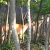 Deer Passing Through Neighbor's Yard - Large Buck