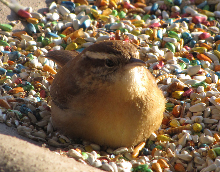 Carolina Wren in Morning Sunlight