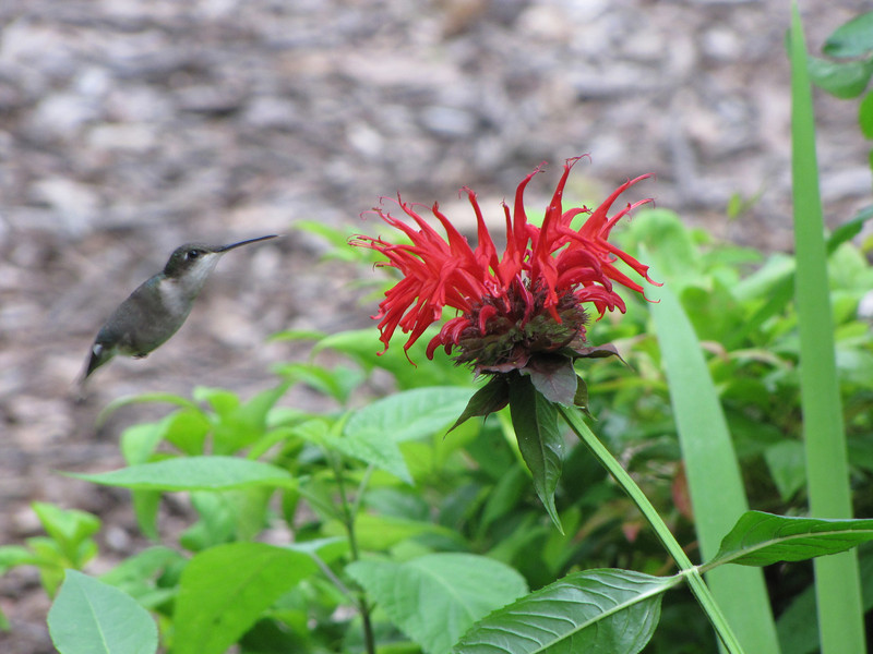 Ruby-throated Hummingbird at Bee Balm
