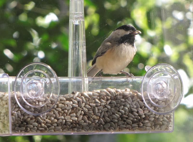 Nice to Get a Bird's Eye View of the Birds - Chickadee on New Window Feeder