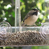 Nice to Get a Bird's Eye View of the Birds - Chickadee on New Window Feeder