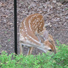 Fawn Smaller Than Spirea Bushes