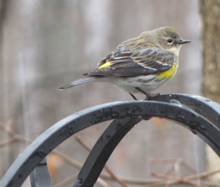 Juvenile Yellow-rumped Warbler Through First Winter - Sitting in the Rain