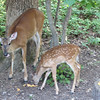 Deer Eating Canteloupe - Mom and Fawn