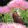 Red-spotted Purple Admiral Butterfly on Sedum