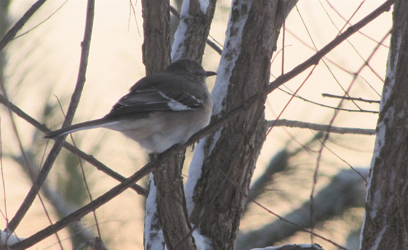 Snowy Day for Mockingbird