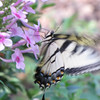 Eastern Tiger Swallowtail Butterfly Feeding on Phlox