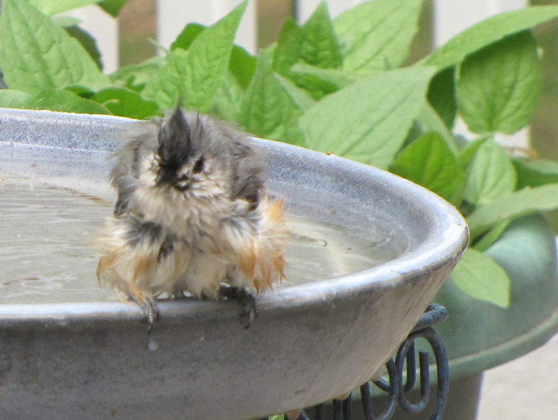 Bedraggled Tufted Titmouse After Bath
