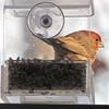 Male House Finch on Window Feeder
