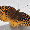 Weathered Great-spangled Fritillary Butterfly
