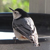 White-breasted Nuthatch at Heated Birdbath