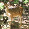 Fawn In Back Yard Dappled Shade - Baby Deer Are SOOO Cute