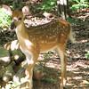 Fawn In Back Yard Dappled Shade - Baby Deer Are SOOO Cute