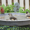 Male Purple Finch and Tufted Titmice at Birdbath
