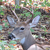 Young Male Deer In Backyard Resting
